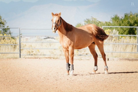 Scarlett Stars Above, American Quarter Horse Mare for sale in Utah