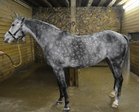 Storm, Other Gelding for sale in Pennsylvania