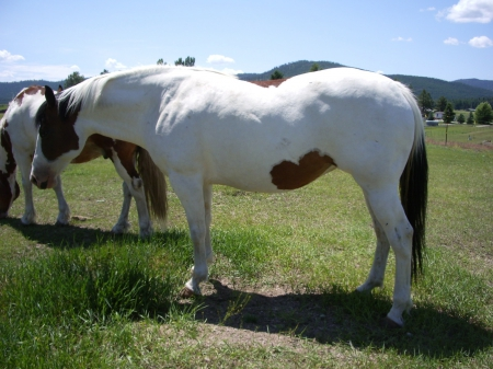 Shiloh , Draft Cross, Belgium Paint  , Draft Cross Mare for sale in Montana