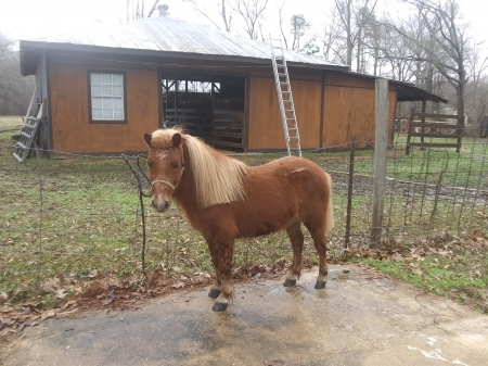 Bull, Appaloosa Gelding for sale in Louisiana