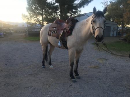 Dalton, American Quarter Horse Gelding for sale in Nevada