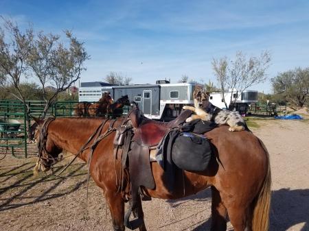 Gracie, Rocky Mountain Mare for sale in Arizona