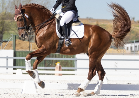 Amazing chestnut-red stallion for sale, Andalusian Stallion for sale in California