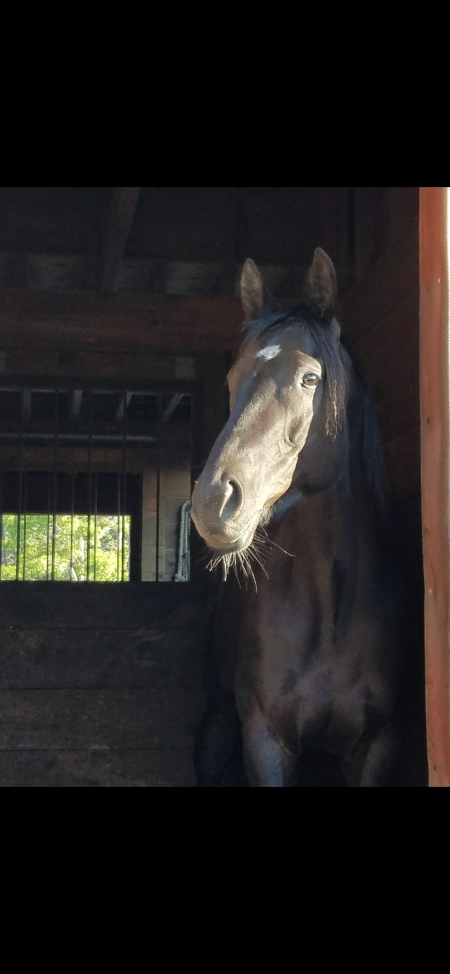 Reign, Thoroughbred Mare for sale in Massachusetts
