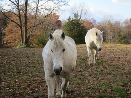 Team of Percherons - Half-Brothers, Percheron Gelding for sale in New York