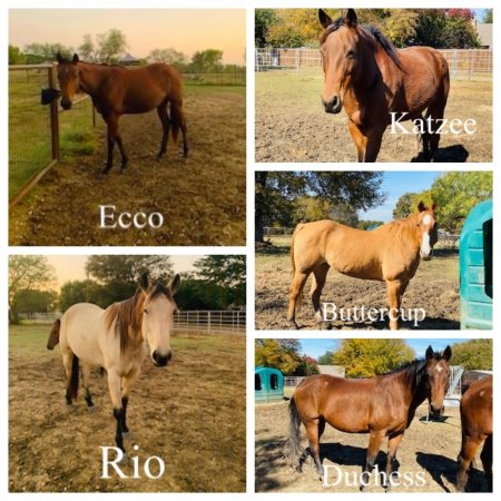 Multiple Horses For Sale - from $2500 to as low as $500 - All prices negotiable, American Quarter Horse Mare for sale in Texas