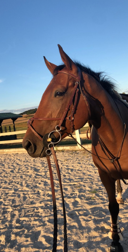 Coach Meyer, Thoroughbred Gelding for sale in Maryland
