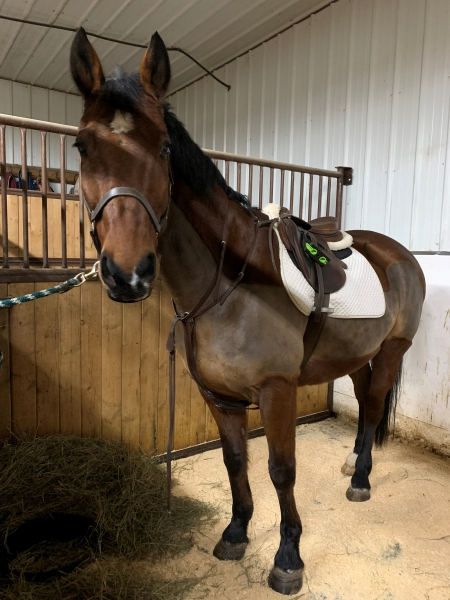 Shamrock, Irish Sport Horse Gelding for sale in Alberta