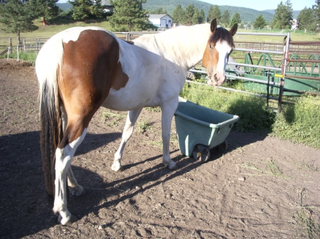 Shiloh , Draft Cross, Belgium Paint  , Belgian Mare for sale in Montana