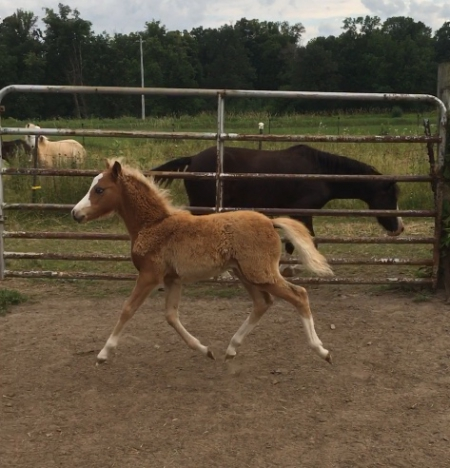 Claybury Anthem Sweet Serenade, Shetland Pony Filly for sale in Minnesota