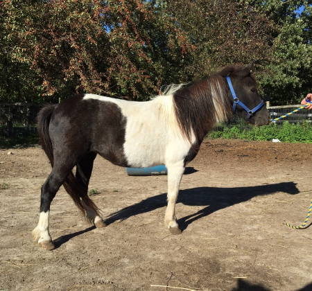 Wauk-A-Away I've got Rhythm, Miniature Mare for sale in Minnesota