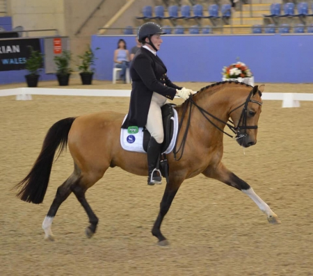 Chevalier, Ponies (All) Gelding for sale in California
