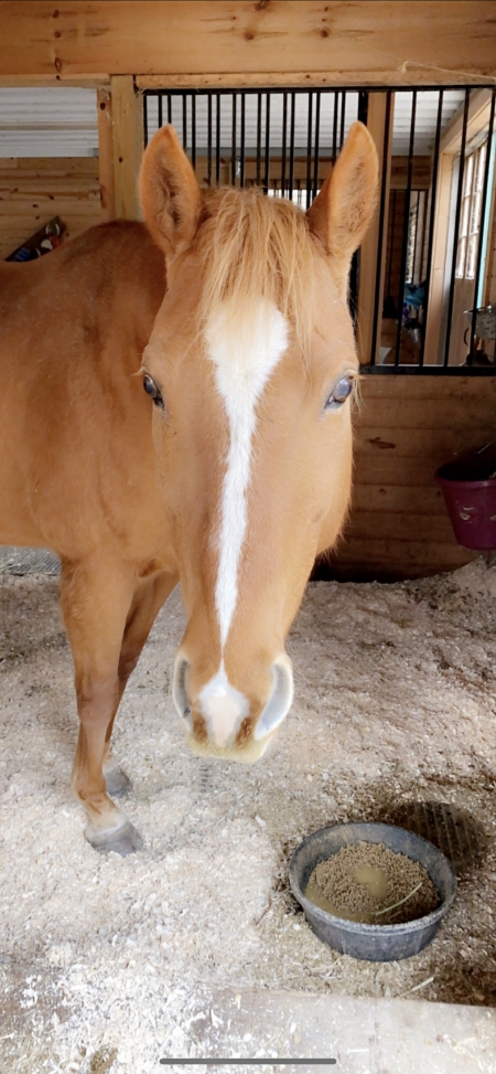 Jessie , American Quarter Horse Mare for sale in Connecticut
