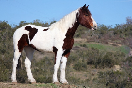 Chantemar, American Quarter Horse Mare for sale in California