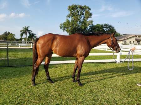 Bella, Thoroughbred Mare for sale in Florida