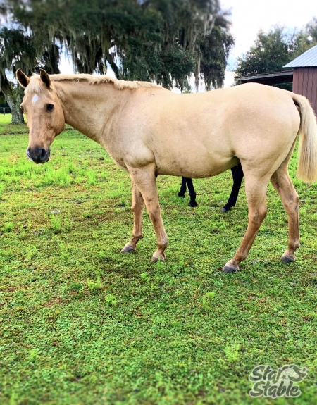 Hollywood, American Quarter Horse Gelding for sale in Florida