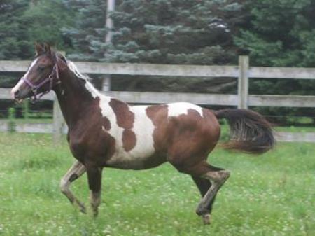 Hughy, Arabian Gelding for sale in Wisconsin