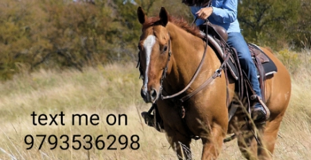 Captain, American Quarter Horse Gelding for sale in Texas