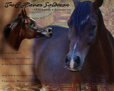 Treff Haven Solomon, Arabian Stallion for sale in Mississippi