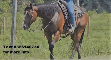 BUZZY REX, American Quarter Horse Gelding for sale in Texas