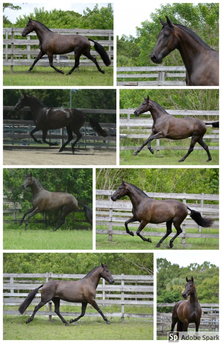 Tormenta del Sol, Andalusian Mare for sale in Florida