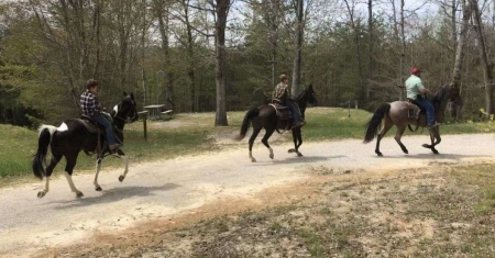 Black Tennessee Walking Gelding, Tennessee Walking Horses Gelding for sale in California