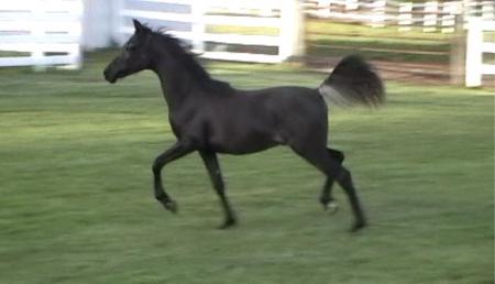 Gaius Eli Baahir QPF, Arabian Gelding for sale in Ohio