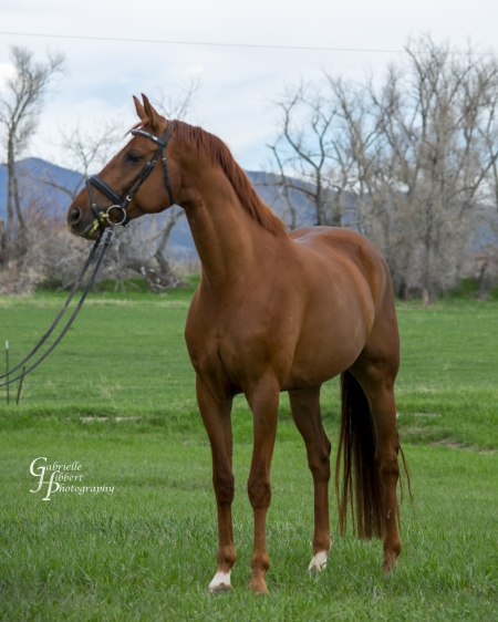 Davino, Westphalian Gelding for sale in Colorado