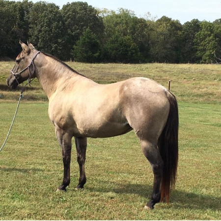 Puddin', American Quarter Horse Mare for sale in Missouri