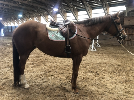 Willow , Selle Francais Mare for sale in New Jersey