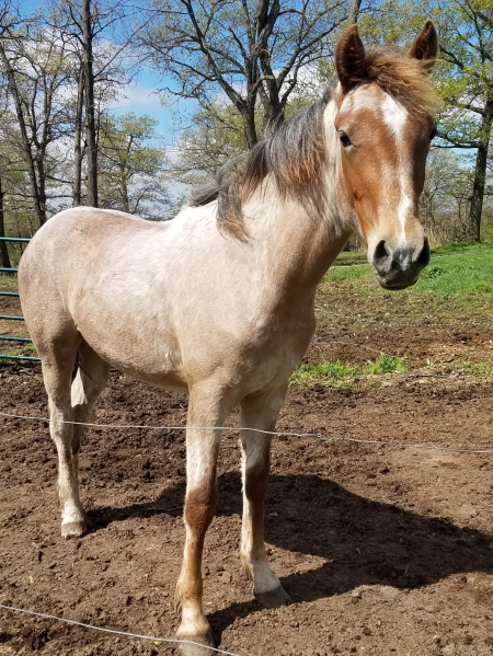 Rosalita, Belgian Warmblood Filly for sale in Minnesota