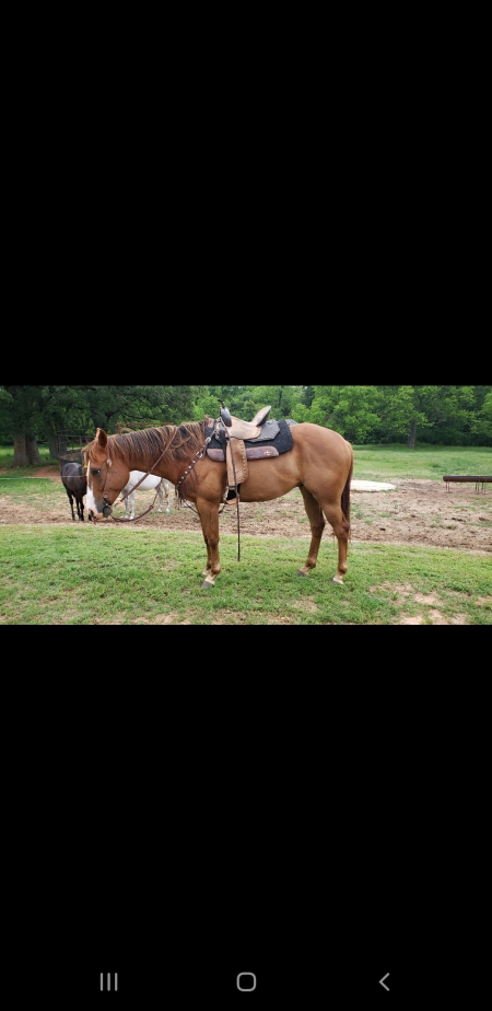 Lions Roar, American Quarter Horse Gelding for sale in Oklahoma