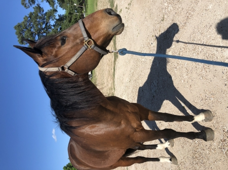 Sexy Shooter , American Quarter Horse Gelding for sale in Texas