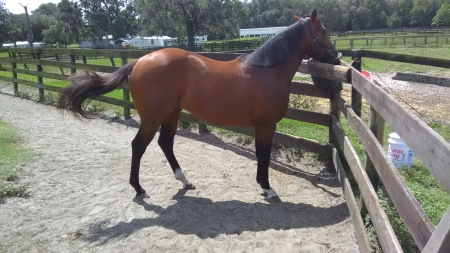 Deebo, Thoroughbred Colt for sale in Florida