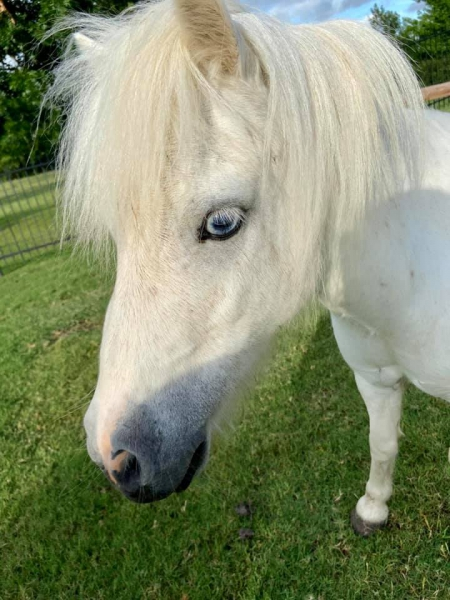 Olaf, Ponies (All) Gelding for sale in Texas