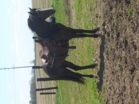 Rocky, Tennessee Walking Horses Gelding for sale in Indiana