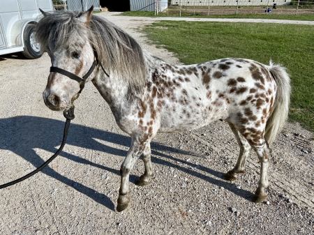 App-solute Dun Deal, Miniature Stallion for sale in Texas