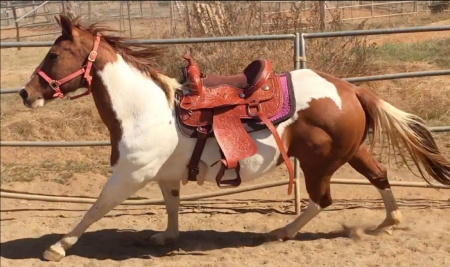 Katie - Sale Pending, Pinto Mare for sale in California