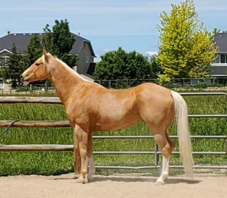 Twice Fast Cadillac , American Quarter Horse Gelding for sale in Idaho