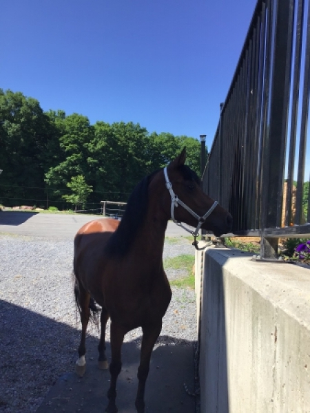Dancer, Morgan Mare for sale in Pennsylvania