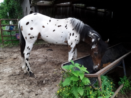 Tirp, Appaloosa Colt for sale in Illinois