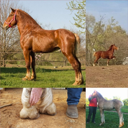 Mohr's Master Madoc , Belgian Stallion for sale in Indiana
