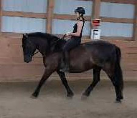 Cache Phenom Wisper, Canadian Horse Gelding for sale in Saskatchewan