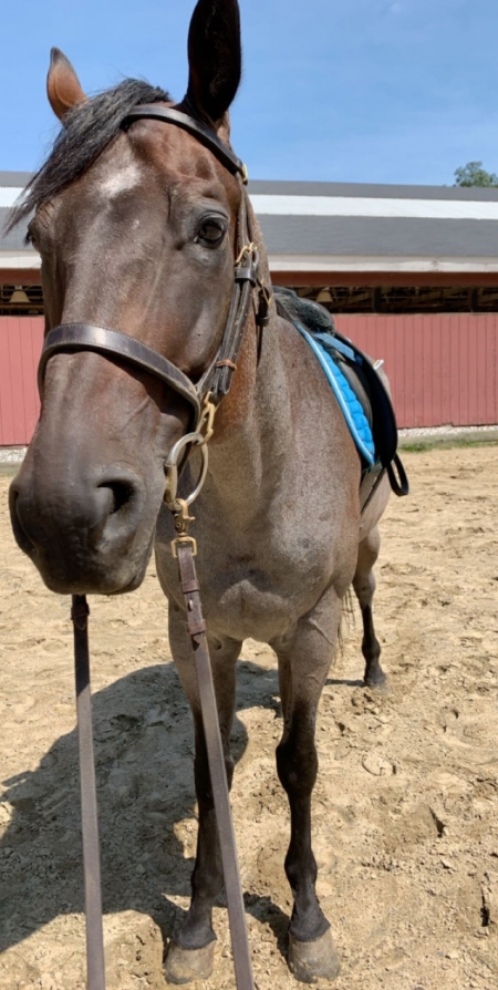 Bad to the Roan, American Quarter Horse Gelding for sale in Connecticut
