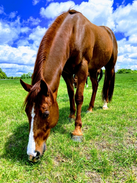 Missin A Shine, American Quarter Horse Gelding for sale in North Carolina