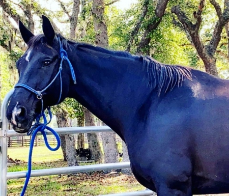 Minx sweet laid back boy, Hanoverian Gelding for sale in Florida