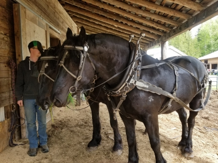 Prince and King, Percheron Gelding for sale in British Columbia