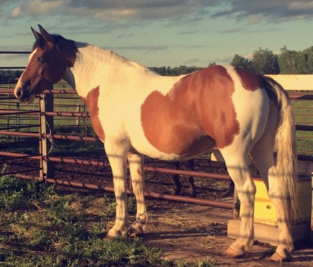 DUTCHES, Belgian Mare for sale in Connecticut