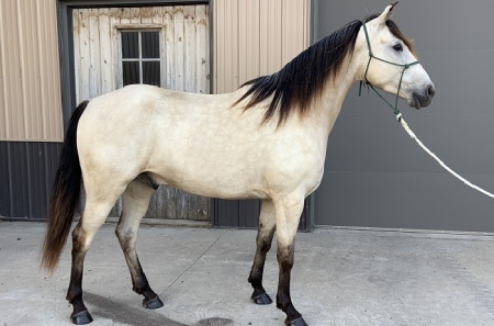 Cloud's Caballo Cisco, Missouri Fox Trotting Horse Gelding for sale in Minnesota