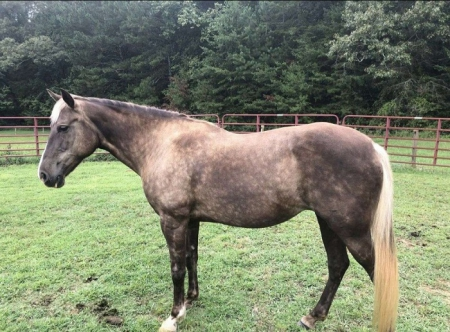 Bailey, Rocky Mountain Mare for sale in Mississippi